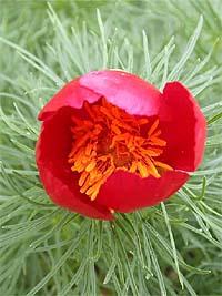 14 пион тонколистный paeonia tenuifolia