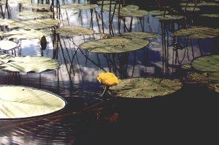 Девушка с желтыми кувшинками фото